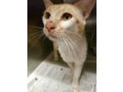 Adopt Bobbie a Orange or Red Domestic Shorthair / Domestic Shorthair / Mixed cat