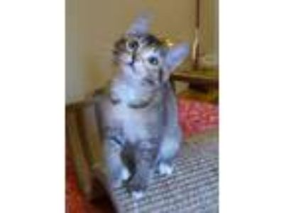 Adopt Darling Dahlia! So deliciously sweet! a Bengal, Tonkinese