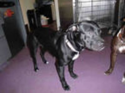 Adopt a Black - with White American Pit Bull Terrier / Mixed dog in Long Beach
