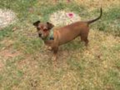 Adopt Mocha a Red/Golden/Orange/Chestnut Dachshund / Mixed Breed (Small) / Mixed