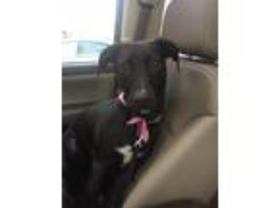 Adopt Ebony a Black - with White Labrador Retriever / Mixed dog in McDonough