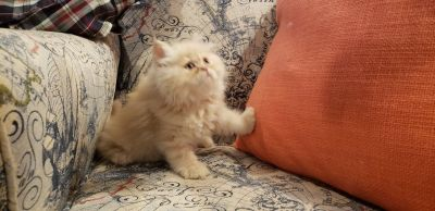 CFA Registered Cream Female Persian Kitten