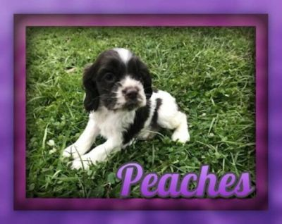 Peaches Female Cocker Spaniel ACA