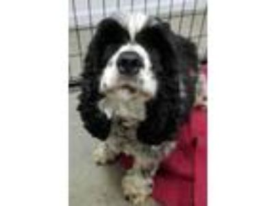 Adopt Kaidence a Cocker Spaniel / Mixed dog in Neillsville, WI (25581790)