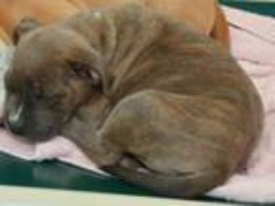 Adopt Jones a Brown/Chocolate American Pit Bull Terrier / Mixed dog in