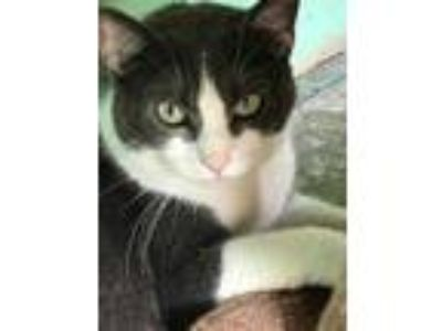 Adopt Simon a Gray or Blue Domestic Shorthair / Domestic Shorthair / Mixed cat