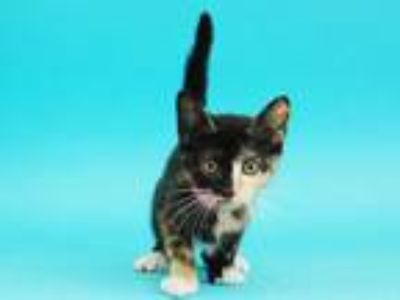 Adopt ETHEL a Tortoiseshell Domestic Shorthair / Mixed (short coat) cat in St.
