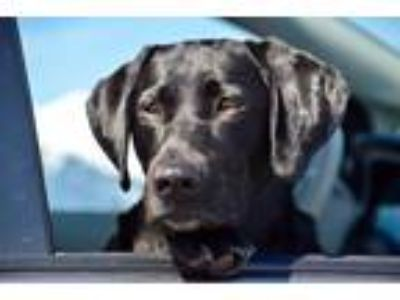 Adopt Bayli a Black Labrador Retriever dog in Vancouver, WA (25345830)
