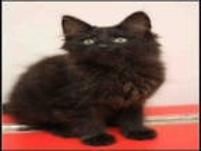 Adopt GOOSE a All Black Domestic Mediumhair / Mixed (medium coat) cat in Plano