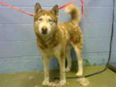Adopt a Red/Golden/Orange/Chestnut - with White Husky / Mixed dog in Moreno