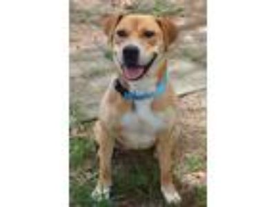 Adopt Magpie a Labrador Retriever / Mixed dog in Birmingham, AL (25594478)