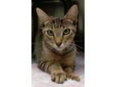 Adopt Missy a Brown or Chocolate American Shorthair / Domestic Shorthair / Mixed