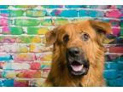 Adopt Max a Black - with Brown, Red, Golden, Orange or Chestnut Shepherd