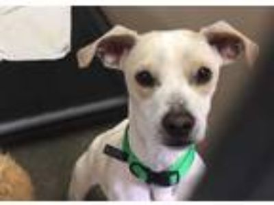 Adopt NEIL a White - with Tan, Yellow or Fawn Beagle / Mixed dog in Murray