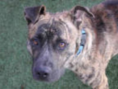 Adopt KING a Brindle American Pit Bull Terrier / Mixed dog in Austin