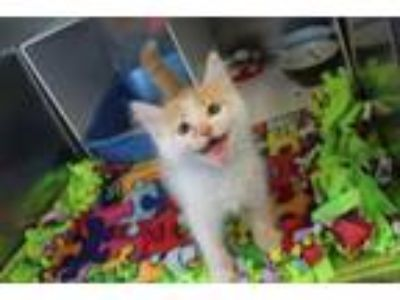 Adopt Chedder Num Nums a Domestic Short Hair