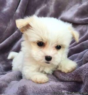 Outstanding little maltese pups