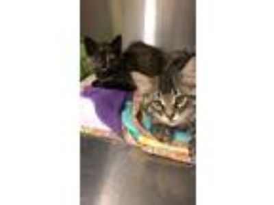 Adopt Adorable Kittens! 10-12 weeks old! a Tabby, Tortoiseshell