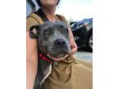 Adopt Holly a Gray/Blue/Silver/Salt & Pepper American Staffordshire Terrier /