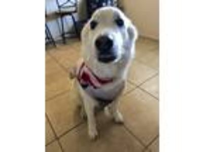 Adopt Obi a White Husky / Retriever (Unknown Type) / Mixed dog in Phoenix