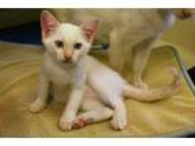 Adopt LEO a White Domestic Shorthair / Mixed (short coat) cat in Louisville