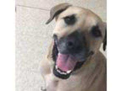 Adopt Prince Romeo a Yellow Labrador Retriever, Shepherd