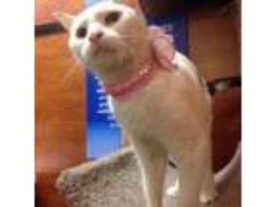 Adopt Fiona a White Domestic Shorthair (short coat) cat in New York
