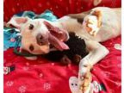 Adopt Baxter a American Staffordshire Terrier, Jack Russell Terrier