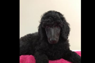 Stunning  Poodle Puppies