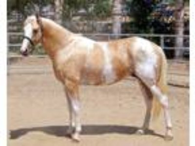 Rare Colored Thoroughbred Stallion at Stud in Sage CA