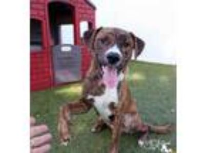 Adopt Blaze a Brindle American Pit Bull Terrier / Mixed dog in Largo