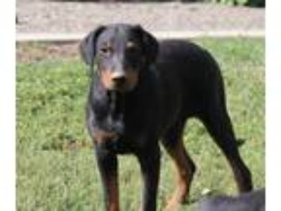 Adopt Quartz a Doberman Pinscher
