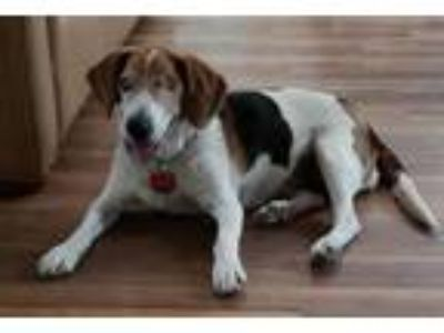 Adopt Shayla a Tricolor (Tan/Brown & Black & White) Beagle / Mixed dog in Las