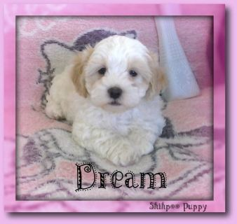 Dream Female Shihpoo