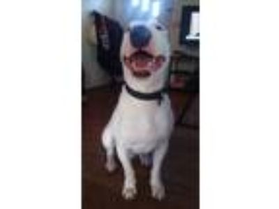 Adopt Cash a White Bull Terrier / Mixed dog in Lititz, PA (25661752)