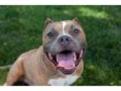 Adopt Major a Pit Bull Terrier