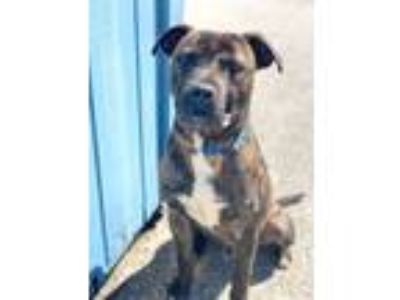 Adopt king a Pit Bull Terrier, American Staffordshire Terrier
