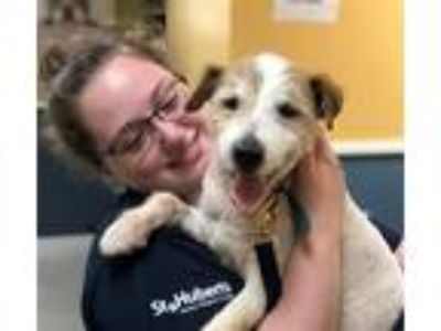 Adopt Peter a Parson Russell Terrier / Mixed dog in Madison, NJ (25887458)