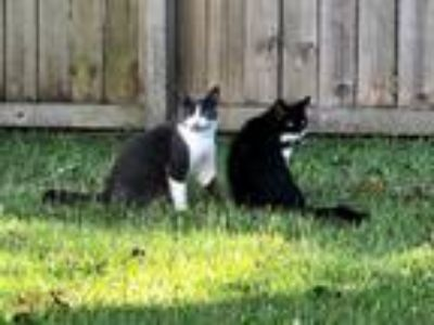 Adopt Boots & Baby a Black & White or Tuxedo American Shorthair (short coat) cat