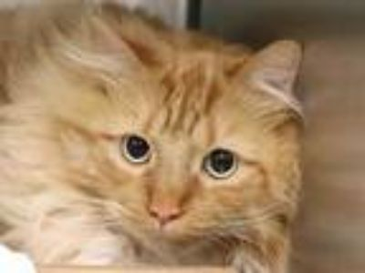 Adopt REMY a Orange or Red Tabby Domestic Longhair / Mixed (long coat) cat in