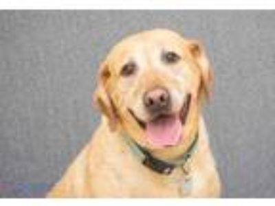 Adopt Tuck a Red/Golden/Orange/Chestnut Labrador Retriever / Mixed dog in