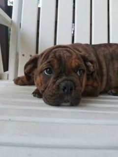 Dapples Male Oldde English Bulldog