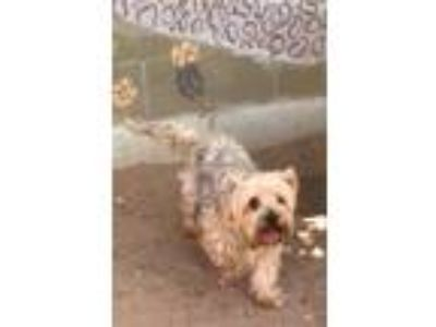 Adopt GEPPETTO a Yorkshire Terrier