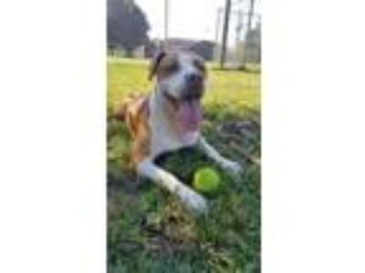 Adopt Princess a Pit Bull Terrier, American Staffordshire Terrier