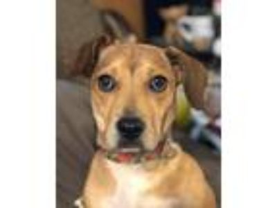 Adopt Leia a Tan/Yellow/Fawn - with White Dachshund / Mixed dog in Portage