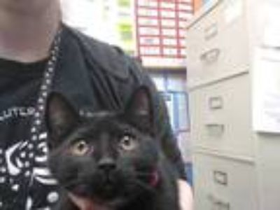 Adopt CHATEAU a All Black Domestic Shorthair / Mixed (short coat) cat in