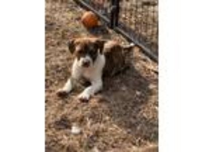 Adopt Speckles a Brindle - with White Boxer / American Staffordshire Terrier /
