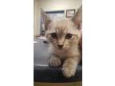 Adopt Corona a Cream or Ivory Siamese / Domestic Shorthair / Mixed cat in