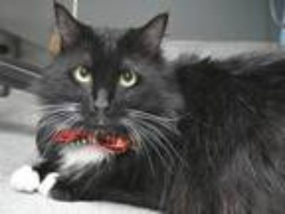 Adopt Toby a Domestic Longhair / Mixed cat in Portland, OR (25356882)