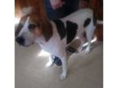 Adopt HoundyHal a Treeing Walker Coonhound, Mixed Breed